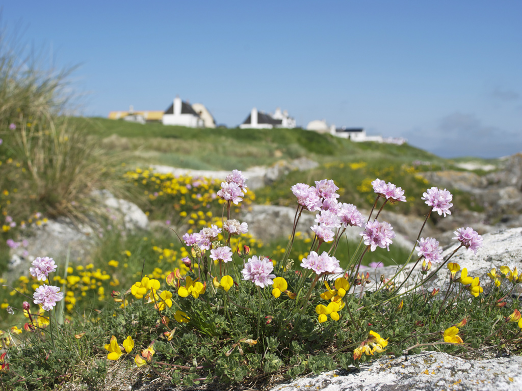 pinks and trefoil near Blue Beyond Cottage Tiree